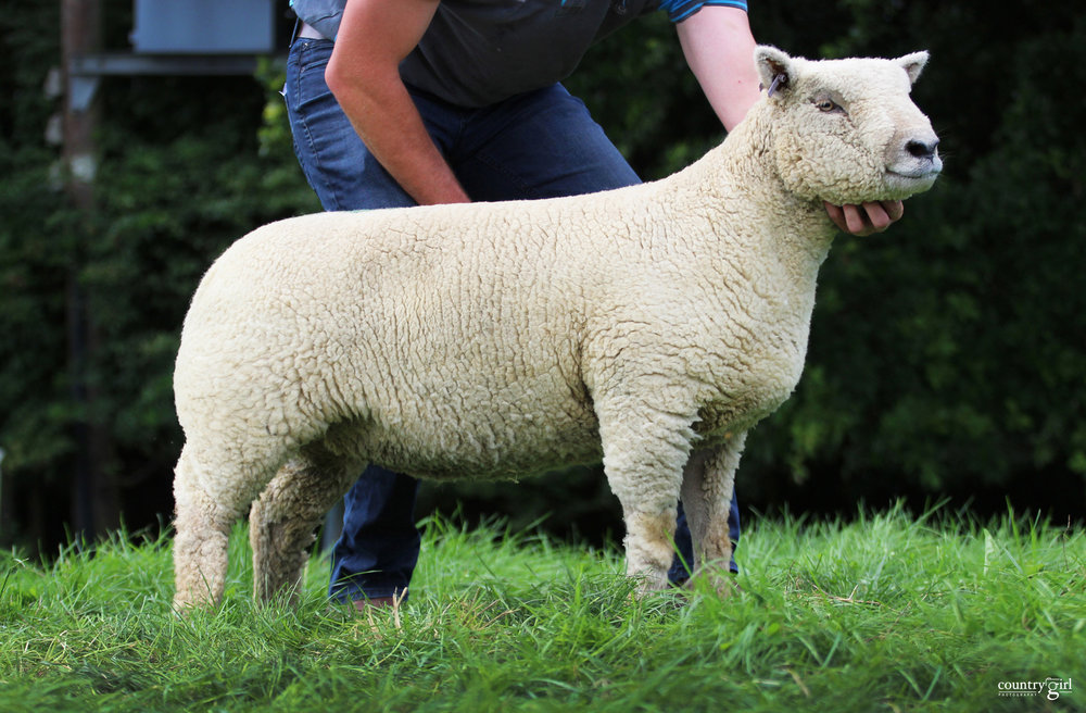Worcester Lot 153-Wenfork shearling ewe from Ben Collings 16-00285 sold for 660gns