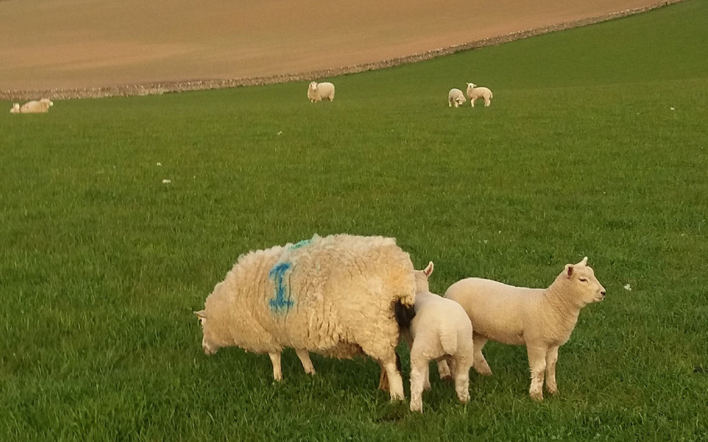 Scott McCreath's Southdown lambs are always his first sold, even though they have been born to ewe lambs