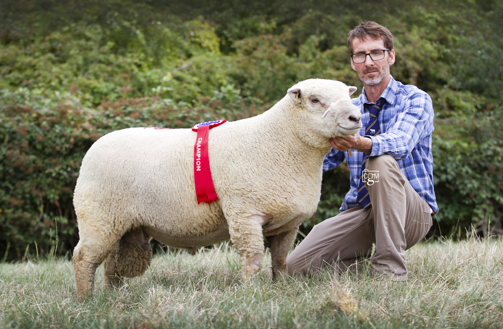 Leading Southdown trade at Worcester Market on Saturday was the male and overall champion, a shearling ram from D, S & P Humphrey, West Sussex.