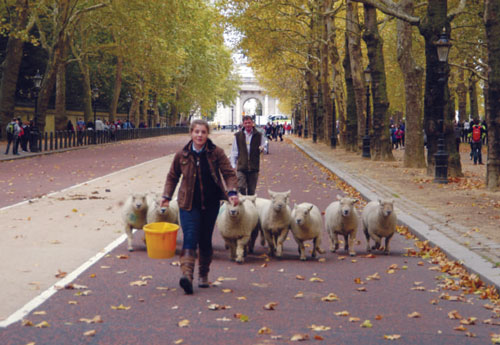 Amy Page & the yellow bucket leading sheep as Nick Page brings up the rear.