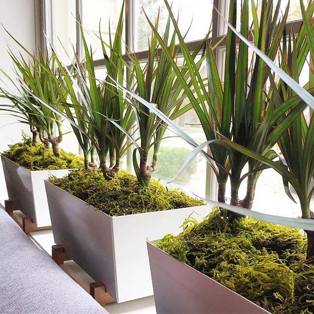 Plant-design_Dracena-MarginataENA
