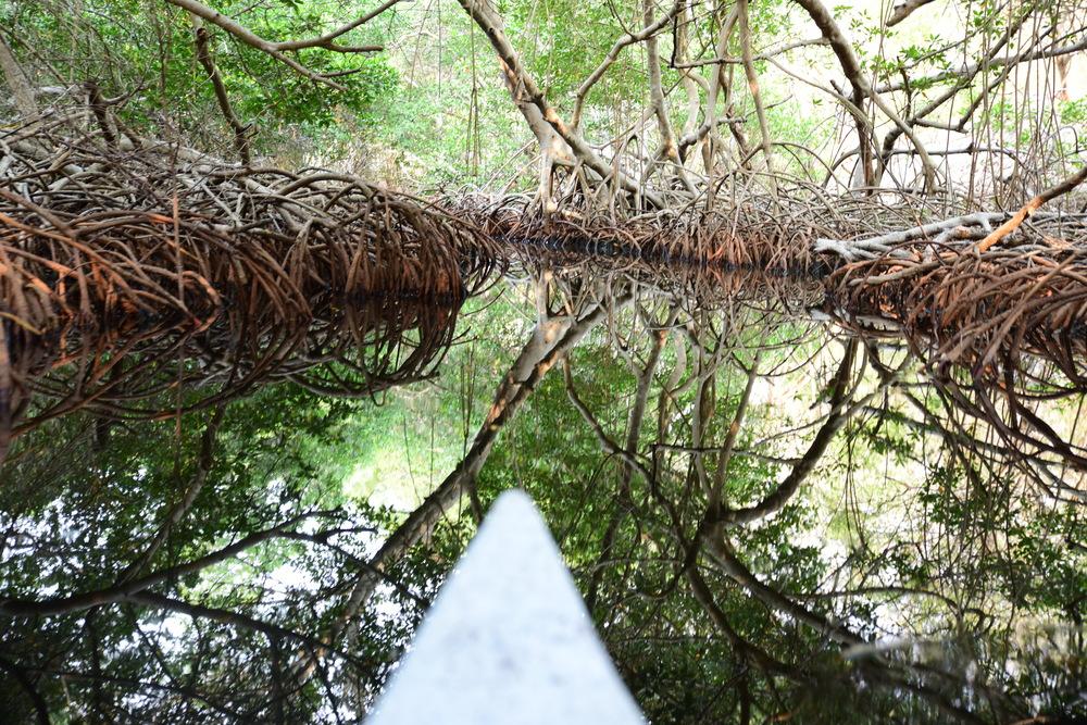 Mangrove tunnels on isla grande
