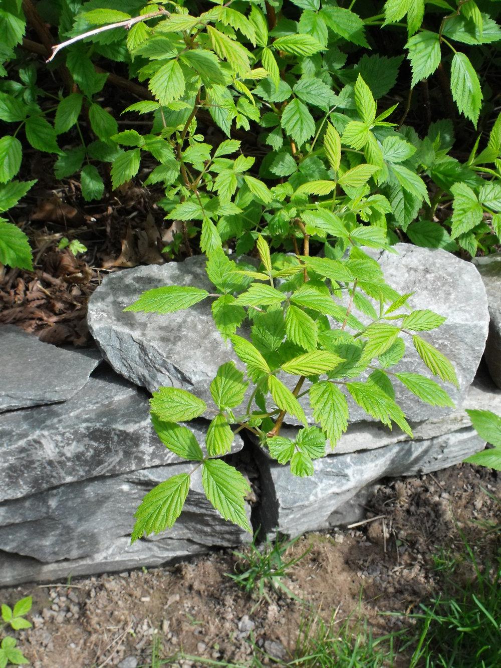 16 Raspberry leaves.JPG