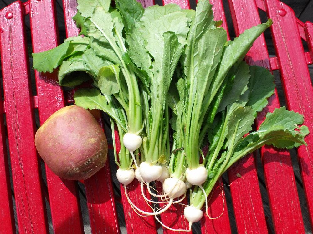 23 turnip and rutabaga.JPG