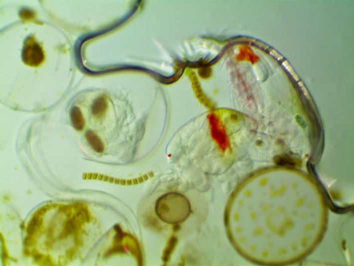 planktonpull.jpg