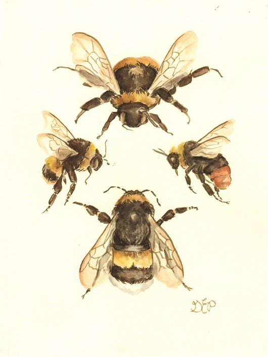 "The Flight of the Bumblebee    6""x8""  watercolor on paper  A vintage-inspired illustration styled after the naturalists studies of old.This painting is a scientific illustration and study of the bumblebee ( bombus )  Featuring the species:    White-Tailed Bumblebee ( Bombus lucorum ),      Red Tailed Bumblebee ( Bombus lapidarius )     and the Early Bumblebee ( Bombus pratorum )    I am a nature lover through and through, and my affections towards naturalists is just additional proof of my being born in the wrong century.  I've always felt that bumblebees are happy little things, and I have even had the honor of petting one or two on occasion! They are indeed busy bees and pleasant in their work. Their delicate wings are so delicate and intricate that I continue to be in awe of them.   The busy bee in me certainly admires the diligent little bumblebee."