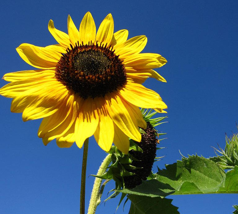 FOOD-PLOT__-Sunflowers-768x690.jpg