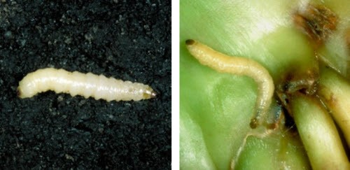 Corn Rootworm