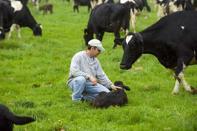 Organic farmer Guy Choiniere raises grass-fed veal in Highgate Center. Seen on Friday, May 4, 2012. / GLENN RUSSELL, Free Press.
