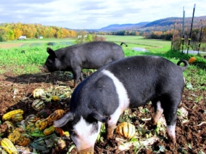 Happy pigs feasting away at Full Moon Farm