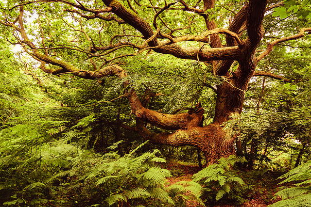 "PHOTO CREDIT: "" Old oak on the island of vilm""  BY UW67 /  CC BY-NC-ND 2.0"