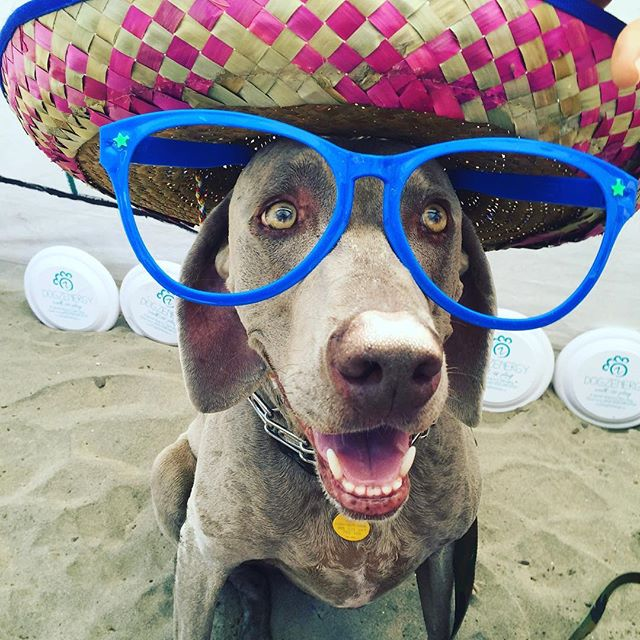Happy Wednesday! We thought this pic of a dog wearing glasses and a sombrero would brighten your day. To see more pics of dogs wearing human wear (and possibly pick up a Halloween costume idea for yourself) check out Handlr business, @dogzenergy 😄🐶