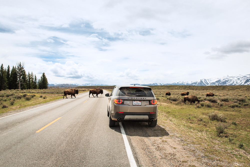 Bison Crossing: Landrover
