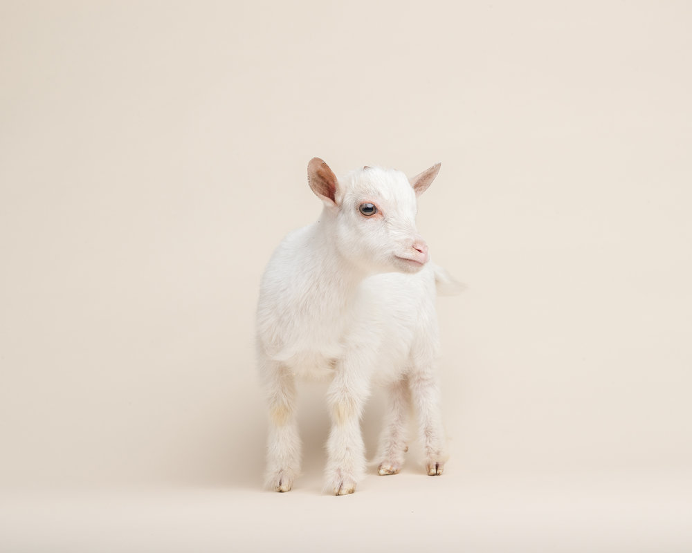 171101_MO_Goat_0997.jpg
