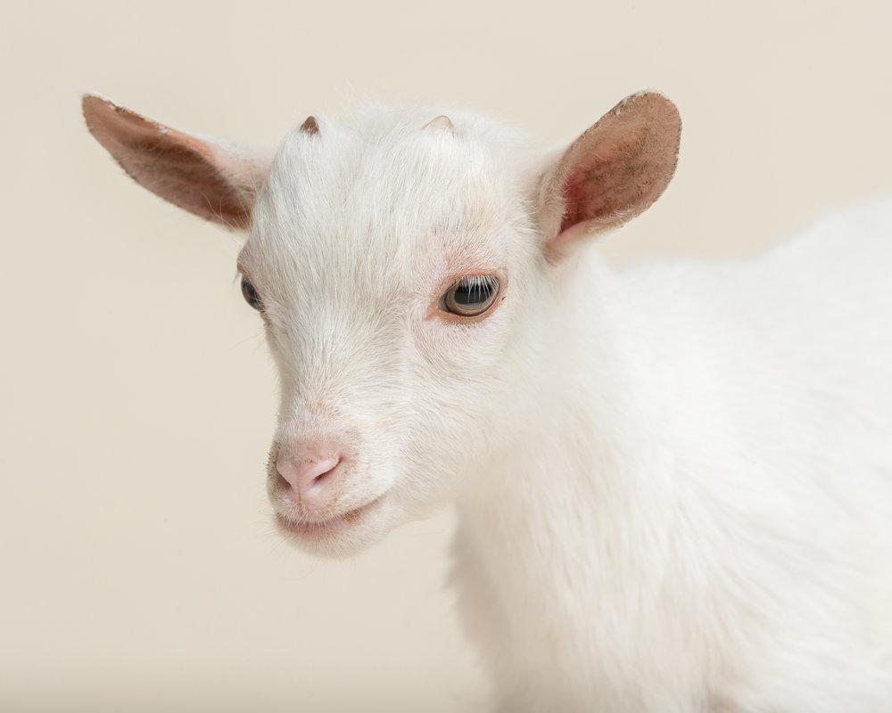171101_MO_Goat_0929.jpg