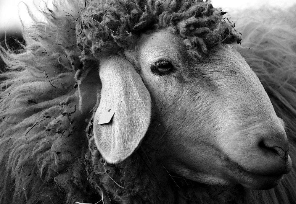 sheep-2166683_1280.jpg