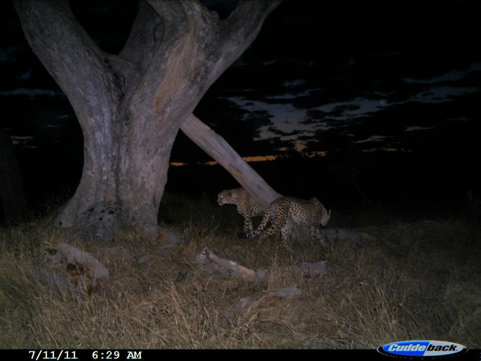 The Coalition males investigating one of their marking trees