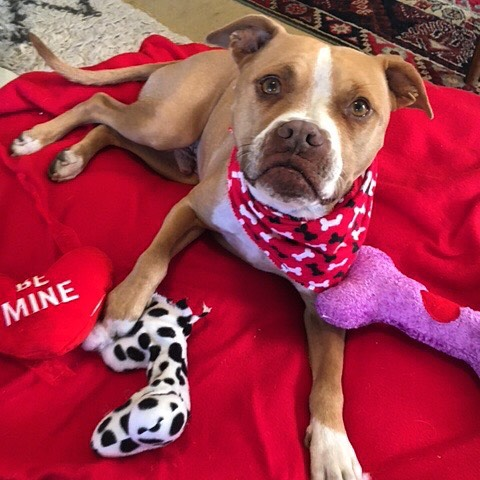 Won't you be my Valentine? Sweet Joey is looking for his true love. #caninesofaustin #hardluckhoundsaustin #barkhappy #rescuefosteradopt #austinanimalcenter #rescueismyfavoritebreed #shelterpetlove