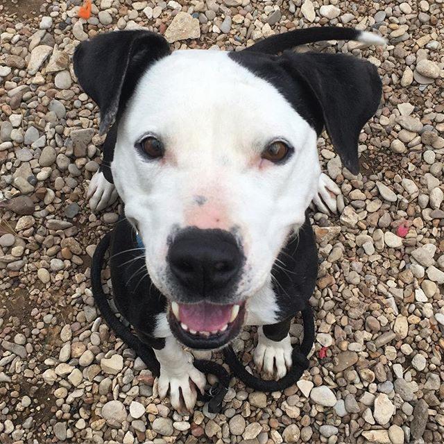 Silly little orphan Annie! #adoptannie #austinanimalcenter #caninesofaustin #barkhappy #rescueismyfavoritebreed #rescuefosteradopt #shelterdogsofaustin #adoptdontshop