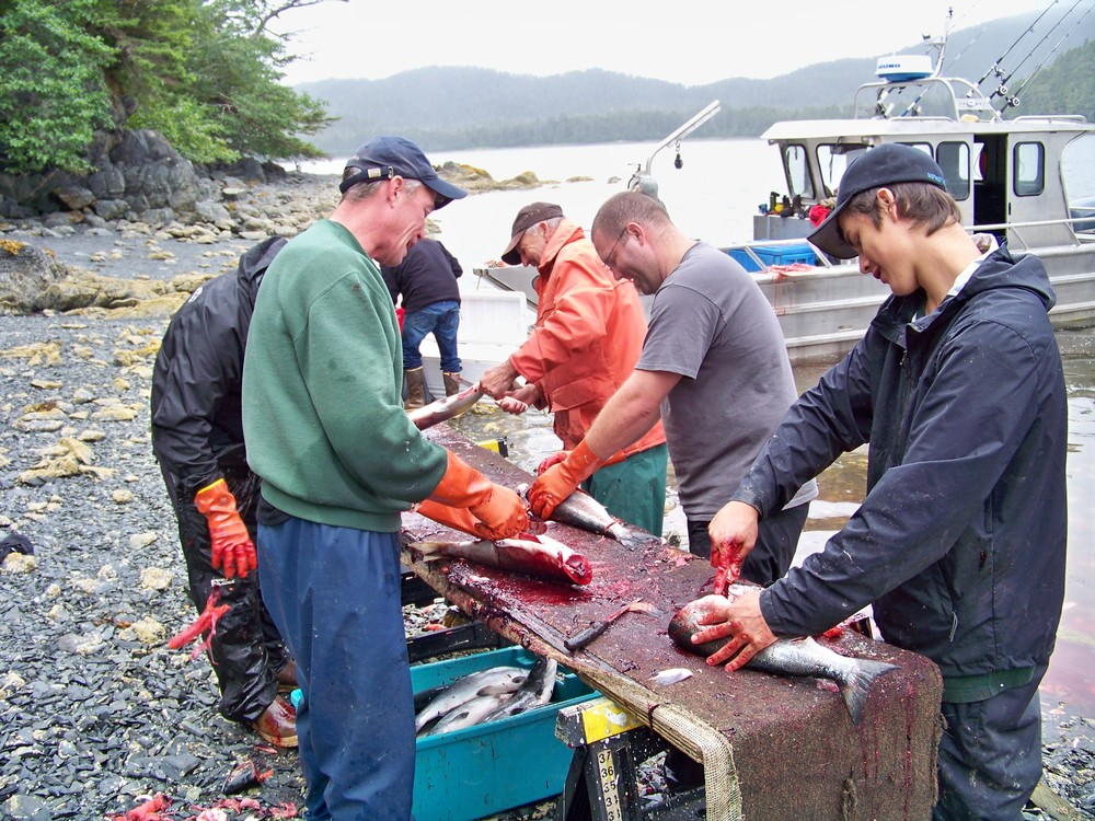 Cleaning a subsistance catch of Sockeye salmon.