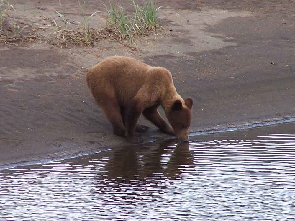 Alaska Coastal Brown Bear Takes a Drink