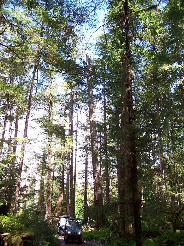 Tall Trees Of The Tongass