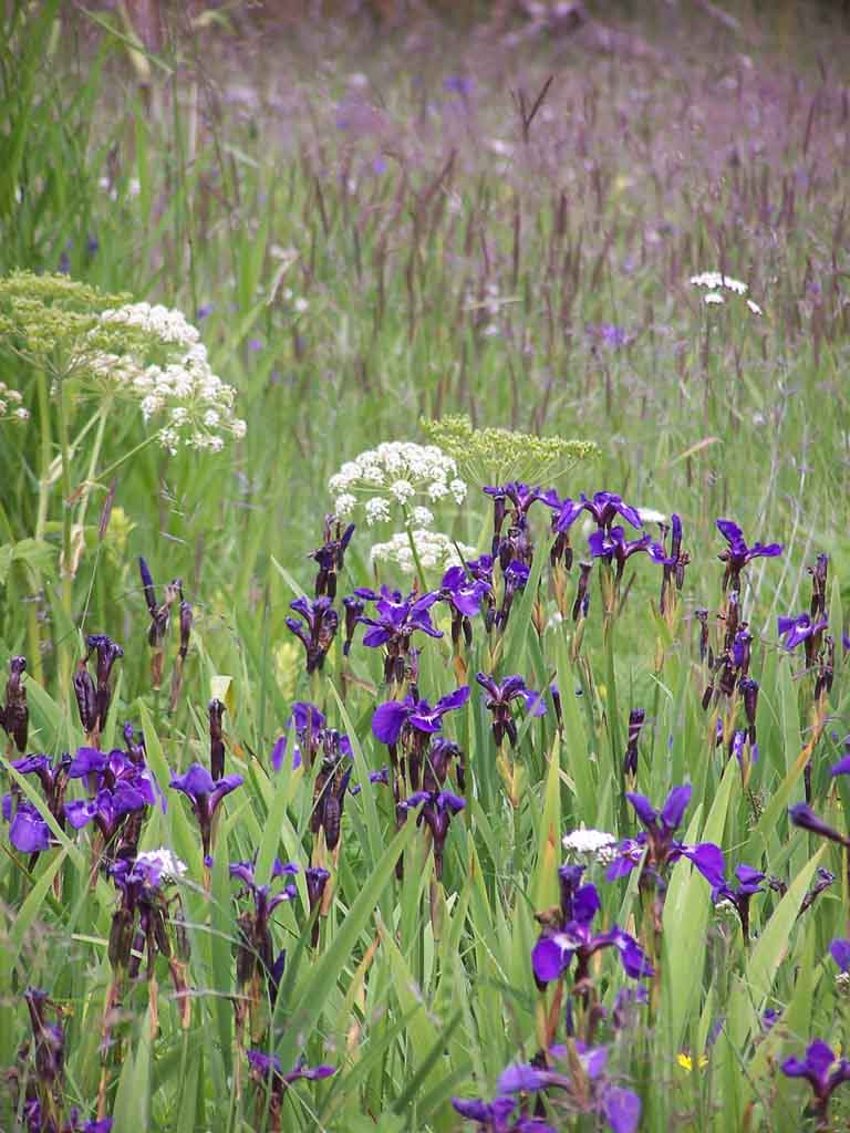 Purple Iris Meadow