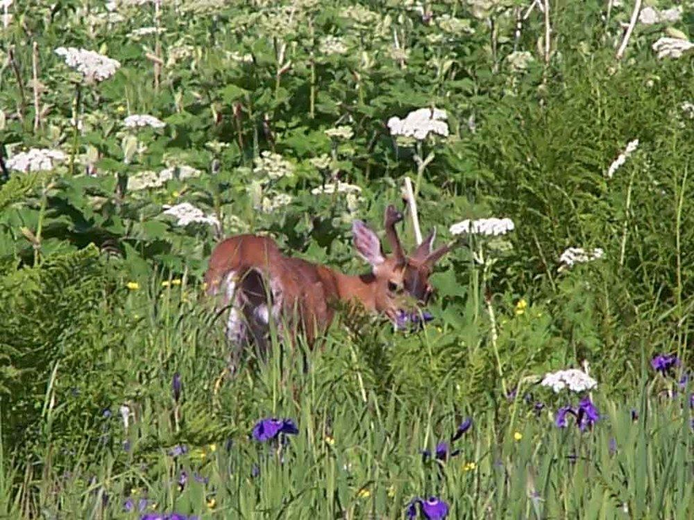 A Sitka Blacktail Buck In The Meadow