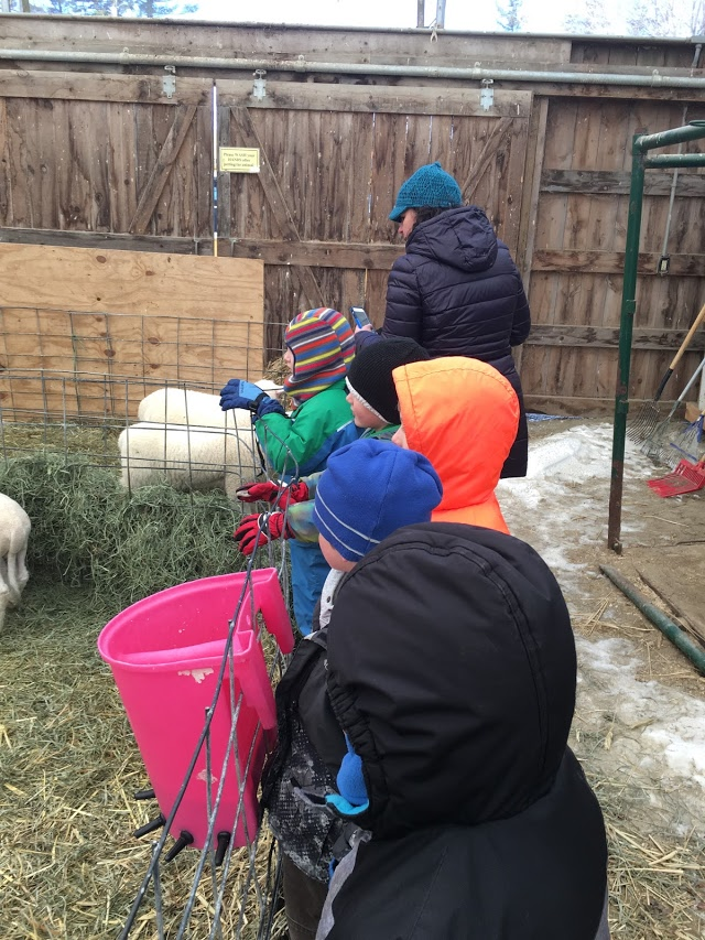 Day in the Life Kindergarten with new spring lambs.jpg