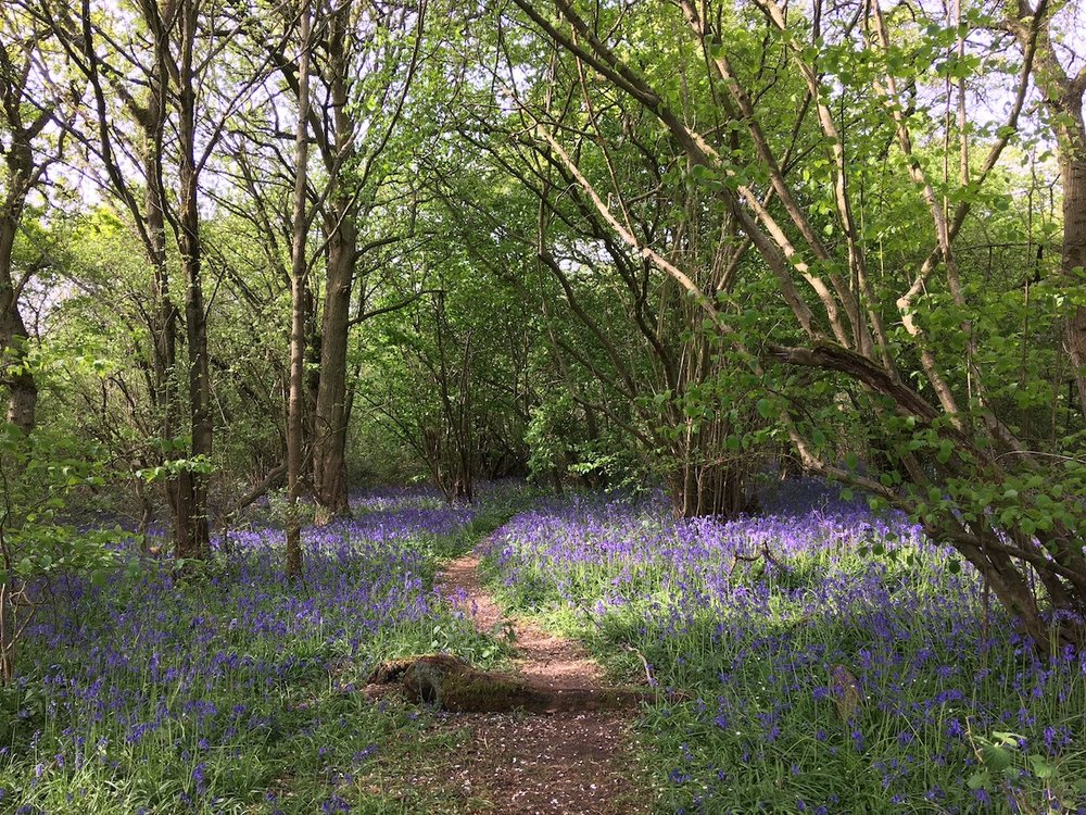 Brampton Wood bluebells in all their glory.