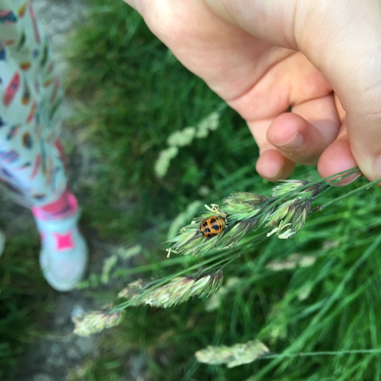 ladybird pupa.jpg