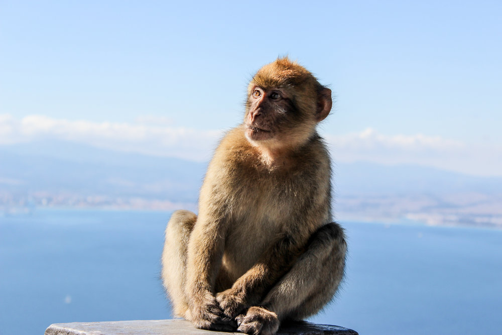 Barbary macaque, Apes' Den, Upper Rock, Straits of Gibraltar, Gibraltar Bay, Mediterranean, Gibraltar, British Overseas Territory, Europe | www.DoLessGetMoreDone.com |