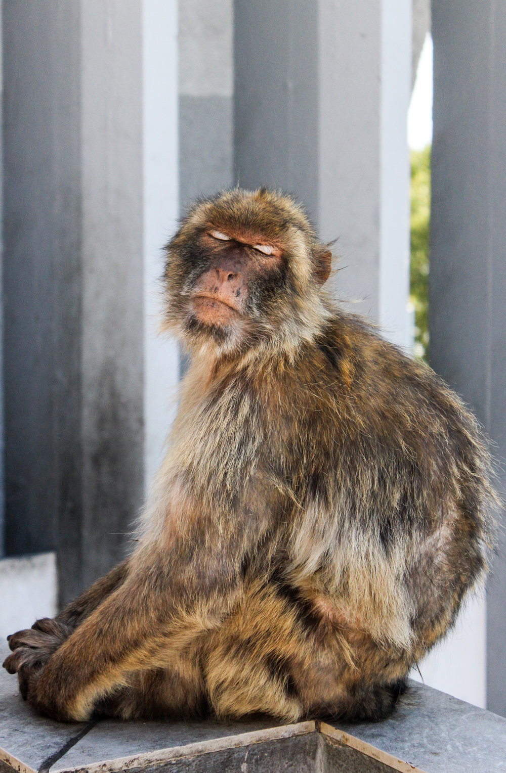 Barbary macaque, Apes' Den, Upper Rock Nature Reserve, Gibraltar, British Overseas Territory, Europe | www.DoLessGetMoreDone.com |