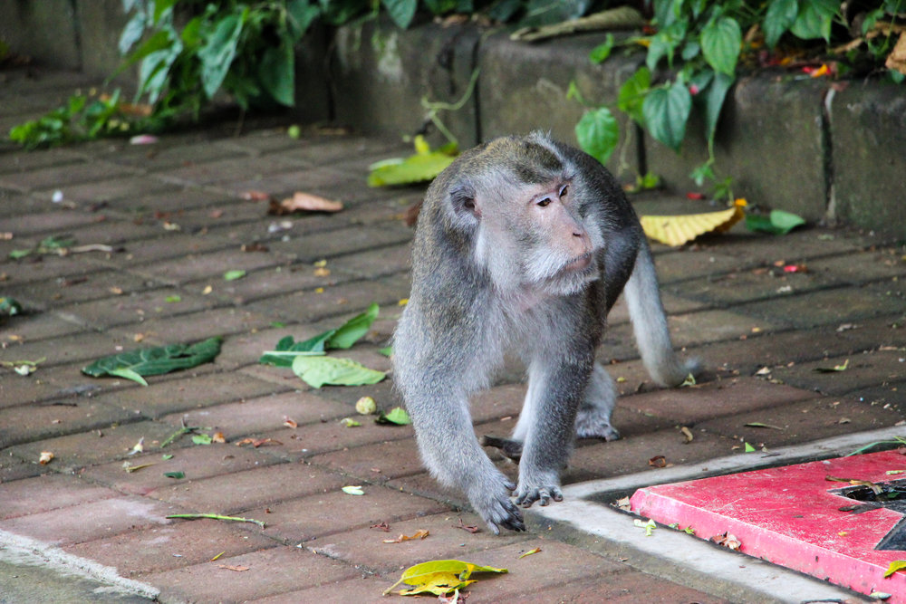 grey long-tailed macaque, Ubud Monkey Forest, Bali, Indonesia, Asia | DoLessGetMoreDone.com |