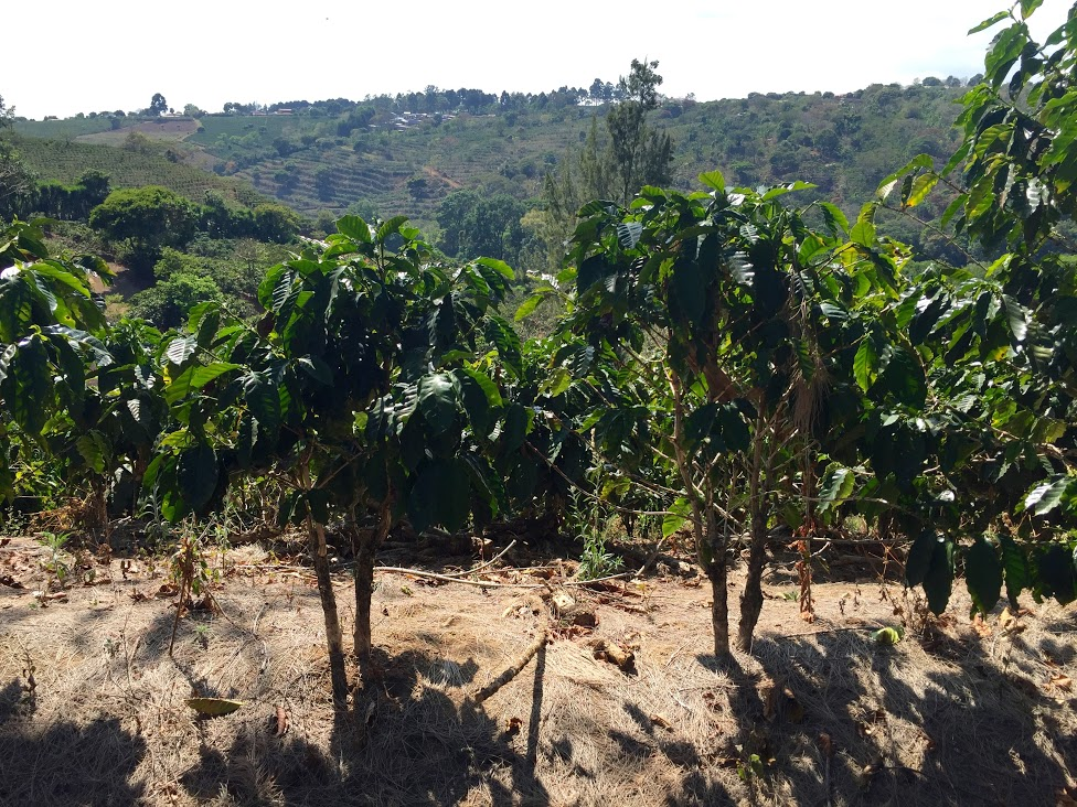 One year old pacamara trees on the farm. The rest of the farm is Catarra & Catuai, but they're now in the early stages of planting new varieties.