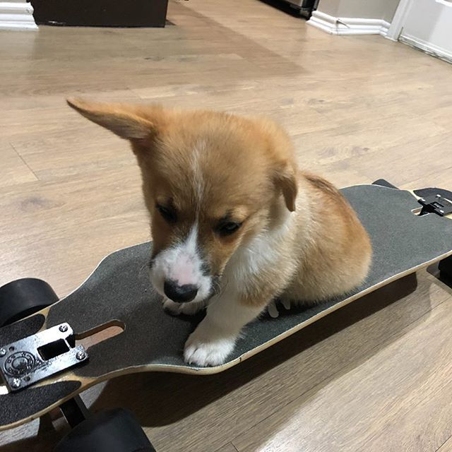 Meet our newest rider! @sirwinstoncorgshill is ready to Shred!