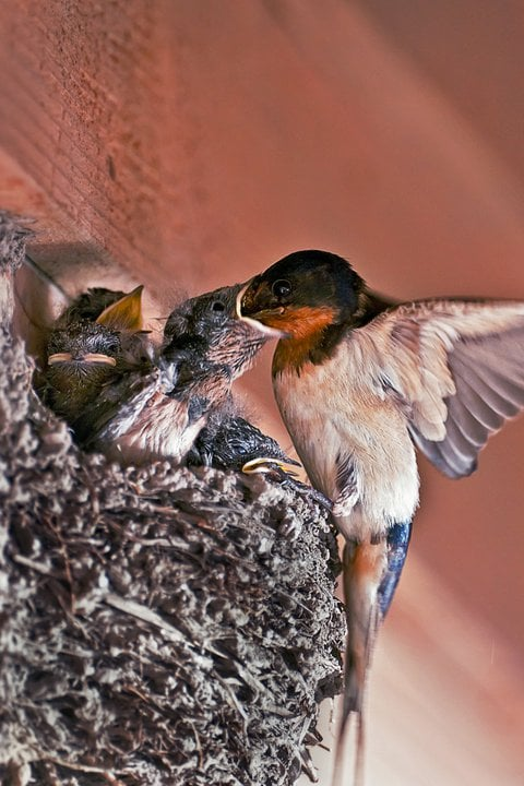 Barn Swallow and Nestlings