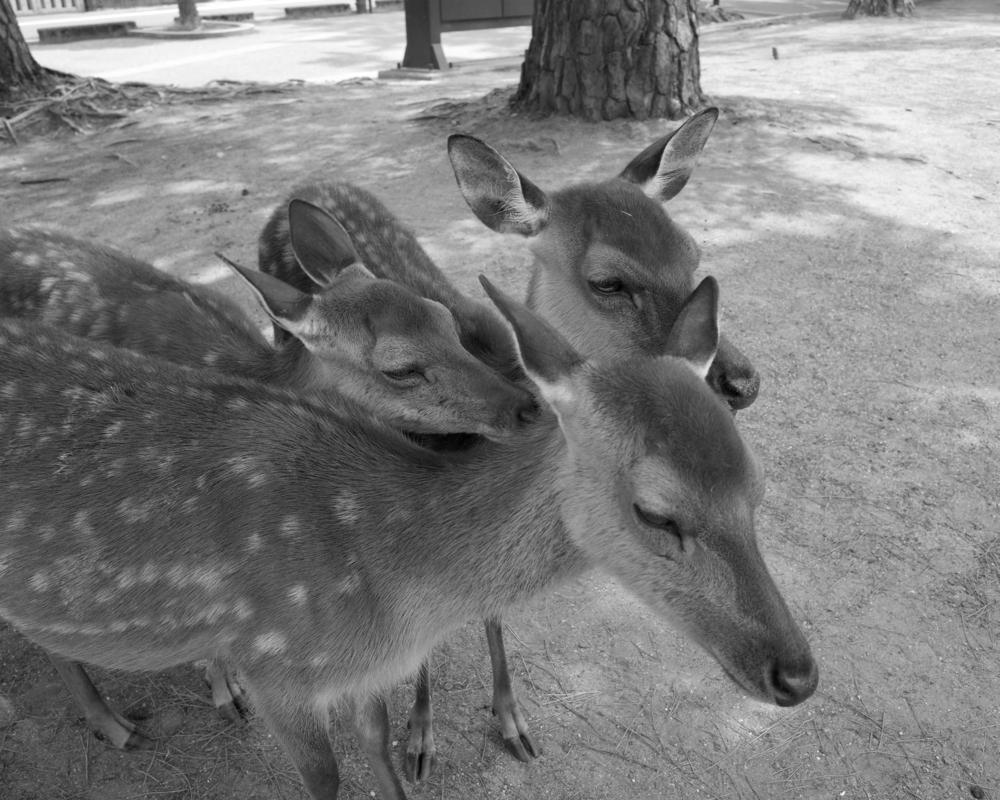 Deers , Nara, Japan. Spring 2015.