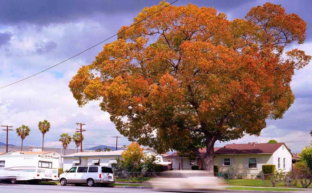 33-Camphor-Tree-#6,-Duarte,-2006.jpg