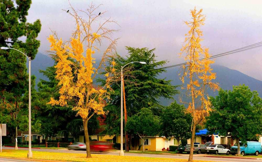 35-Ginko-#1-v3,-Pasadena,-2004.jpg