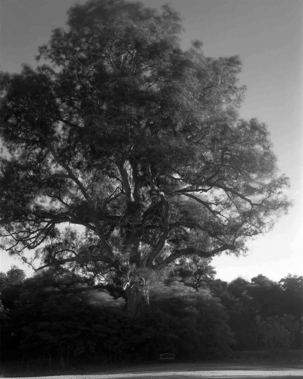 27-Eucalyptus-#12.jpg