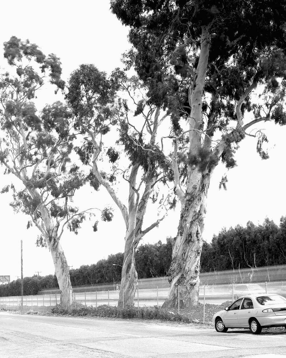 15-Eucalyptus-#3,-Camarillo,-2002.jpg