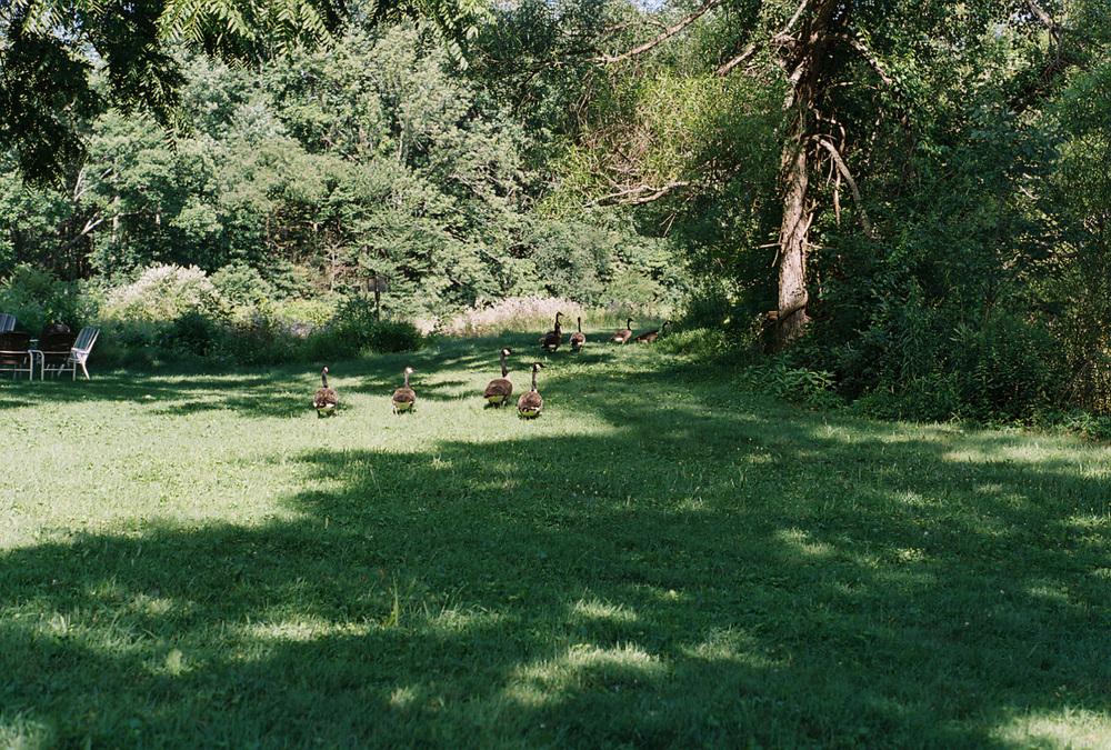 geesegrassweb.jpg