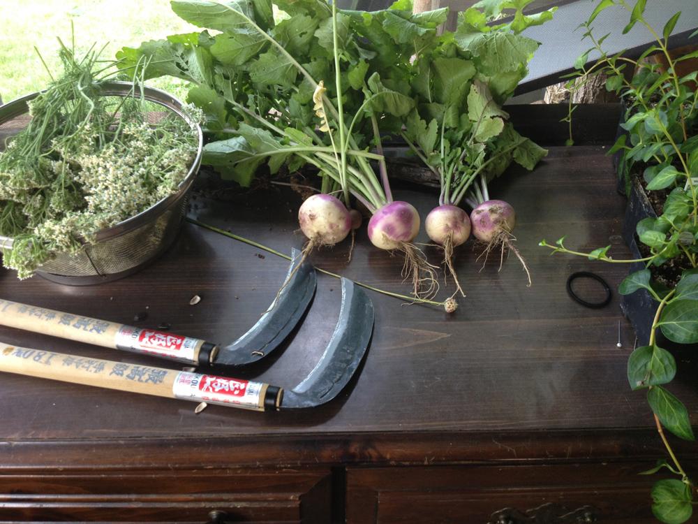 harvesting turnips.web.jpg