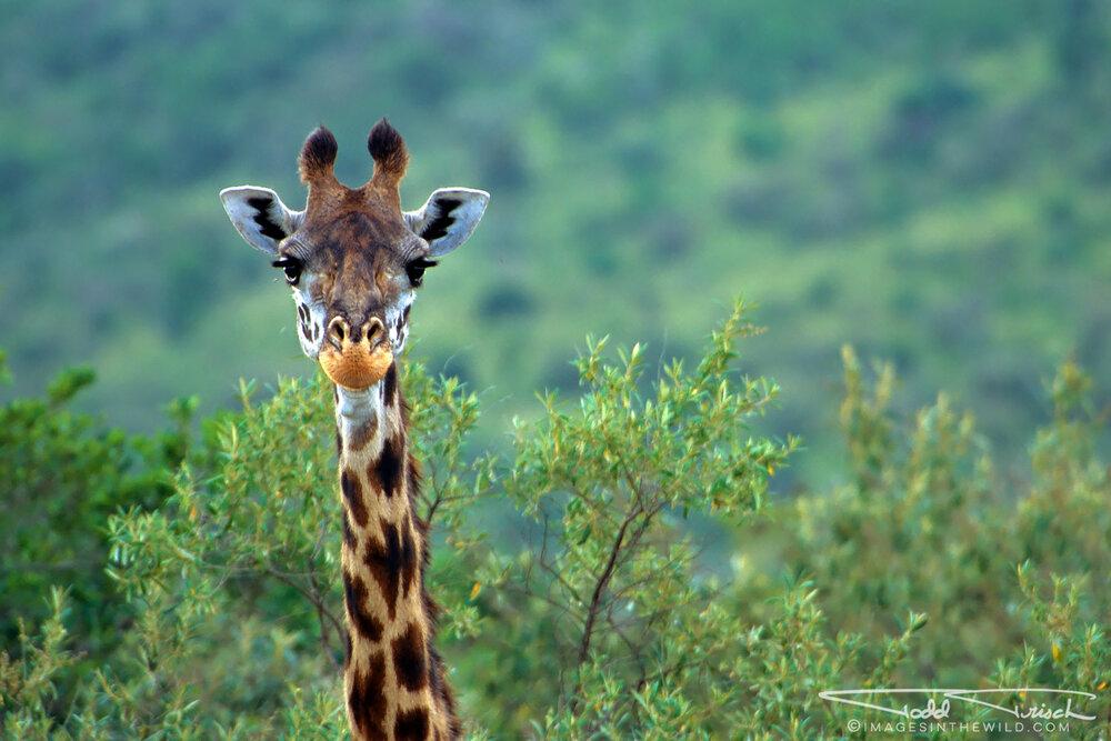 Giraffe Peek A Boo