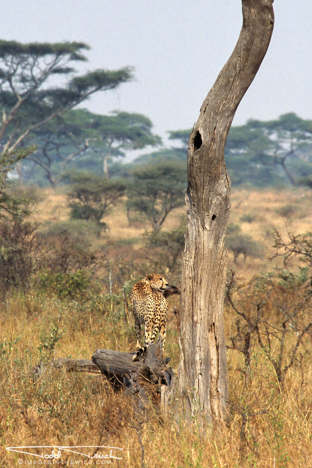 Cheetah Watching It's Prey