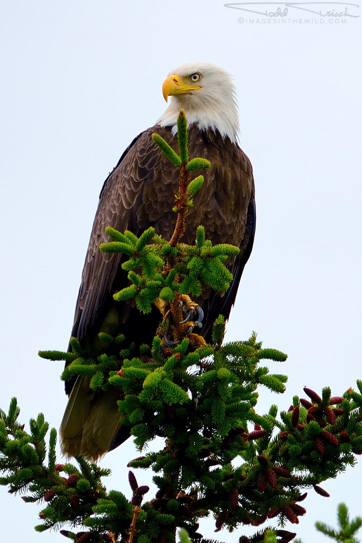 Alaskan Regal Eagle