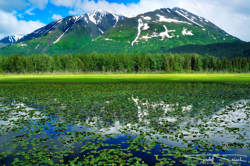 Seward Highway Lily Pad Pond