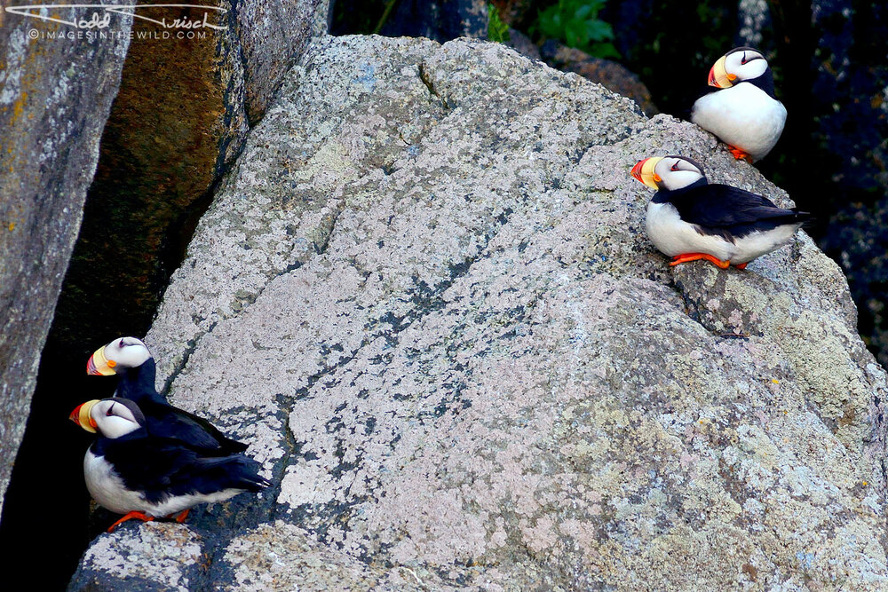 Puffin Gathering Chiswell Islands