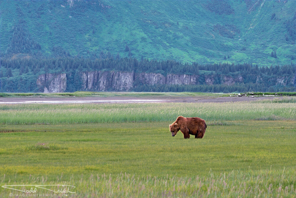 Brown Bear at Hallo Bay
